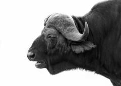 Buffalo (Sheldrickfalls) Tags: buffalo buffalobull daggaboy lowersabie lowersabiecamp skukuza h41 mpumalanga southafrica krugernationalpark kruger krugerpark