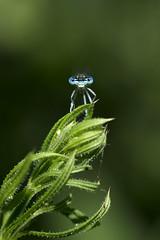blauwe breedscheenjuffer 3598 (Jeannemieke Hectors) Tags: blauwebreedscheenjuffer whiteleggeddamselfly hastiresurmeuse stroomgebiedmaas belgi belgium