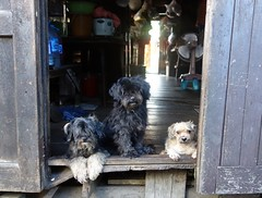 dogs in a doorway (the foreign photographer - ) Tags: dscaug212016sony three wire haired dogs doorway khlong bang bua bangkhen bangkok thailand sony rx100
