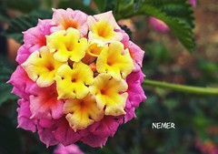 #flowers #closeup #orange #pink #natuer #green #pinkandorange #beauty (nemeralbakkar) Tags: orange natuer pinkandorange green pink beauty flowers closeup