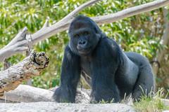 Silverback (RussellK2013) Tags: explore sandiego sandiegozoo zoo animal gorilla gorillagorilla nikon nikkor nature ngc wildlife silverback 70200mmf28vrii 70200mmf28gedvrii 70200mm mammal d500