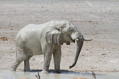 Namibia 2016 (316 of 486) (Joanne Goldby) Tags: africa africanelephant august2016 elephant elephants etosha etoshanationalpark explore loxodonta namiblodgesafari namibia safari
