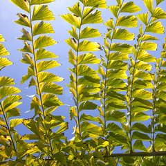 6763Summer10 (Robin Constable Hanson) Tags: blue ceiling fishtail green leaves overhead palm sky tropical up