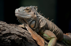 Reptil (marinarodriguezibarra) Tags: reptil reptile iguana wild nature naturaleza animal freedom