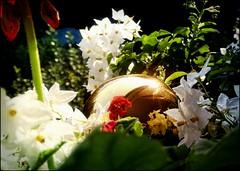 flower.reflection (C.Kalk DigitaLPhotoS) Tags: blume flower blte blossom garden reflektion reflection pflanze plant flora mirror white red green weis weiss rot grn shiny ball kugel