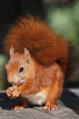 Red squirrel (Andrew Abbott) Tags: squirrel tresco scilly