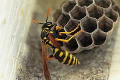 A4839HOMEb (preacher43) Tags: geneseo illinois insects outdoor paper wasp macro