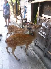 Pesky deer on Miyajima (Stop carbon pollution) Tags: japan  honshuu  hiroshimaken  miyajima