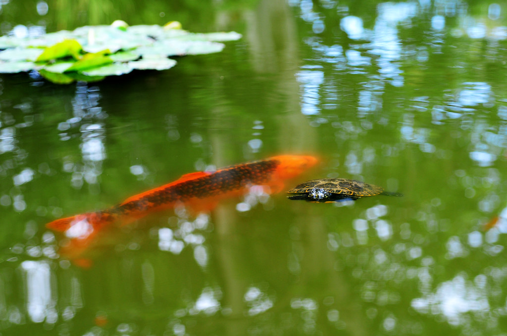 The world 39 s best photos of fish and nishikigoi flickr for Wassertiere teich