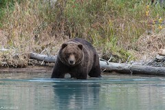 The big one in the water - Lake Clark National Park (Captures.ch) Tags: 2016 alaska animal black blue brown brownbear crescent crescentlake fall gras gray grizzly grizzlybear highadventureaircharter kenai lake lakeclarknationalpark lookbacklakeclarknationalpark mosquitos nationalpark nature orange red september soldotna travel trees usa violet water white