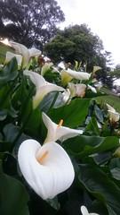 Zantedeschia at Allnut Park (avlxyz) Tags: fb flowers spring zantedeschia callalily