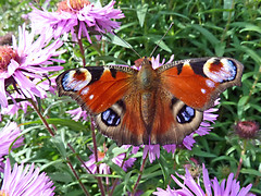 Peacock Butterfly (eric robb niven) Tags: ericrobbniven scotland howff graveyard dundee macro flowers summerwatch
