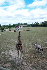 Zoo de Cerza (Brnys) Tags: zoo cerza zoodecerza france lisieux normandie calvados bassenormandie animal animaux girafe giraffe