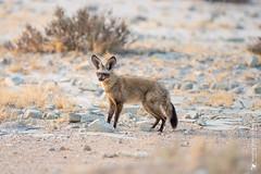 DSC_4361.JPG (manuel.schellenberg) Tags: namibia etosha animal nationalpark fox batearedfox