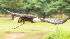 Majestic (modaser) Tags: animal animals baldeagle beeksebergen bird birdofprey dutch eagle holland nederland netherlands raptor safaripark wild wildlife zoo