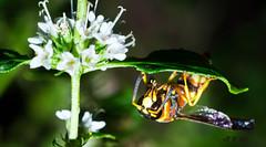 European Hornet (sjmok4) Tags: hornet european wasp insect yellow orange black mint green wings nature
