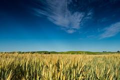 Palouse - Grain (Daxis) Tags: agriculture blue grain green summer unitedstates usa washington palouse
