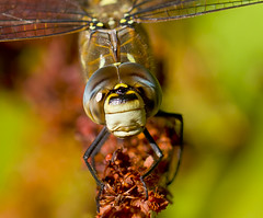 Migrant Hawker Aeshna mixta (Ivan Lynas Nature Photography) Tags: