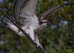 Osprey on a branch 3 (views better  large ) (Robert Ron Grove 2) Tags: osprey wild wildlife nature bird upclose raptor robertgrove canada wow
