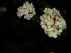 P1010029 (ianharrywebb) Tags: edinburgh iansdigitalphotos flowers flower royalbotanicgardens