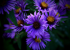Wild Fall Asters (Patricia McAtee - Photos of Maine) Tags: aster wildasters fallflowers purpleflowers wildflowers autumn autumncolors
