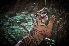stretching with bigger model (rondoudou87) Tags: tiger tigre sumatrantiger pentax k1 parc reynou zoo nature wild wildlife sauvage wow