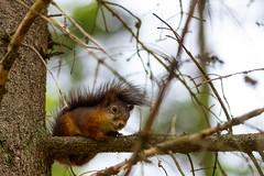 2012-aug-25_0008 (Daniel Nilsson, Agunnaryd) Tags: squirrel ekorre vulgaris sciurus