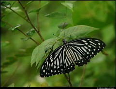 Butterfly - Common Mime (Bibin C. Alex) Tags: india butterfly kerala lepidoptera papilionidae changanacherry commonmime papilioclytia