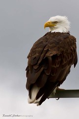 Bald Eagle (Schooksonruss) Tags: wild bird power eagle symbol baldeagle hunter powerful haliaeetusleucocephalus schooksonruss northernoregon russellcstokes