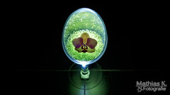 Orchideenblte auf grnen Glasperlen (MathiasK. Fotografie) Tags: flower licht fotografie sony pflanze 1855mm grn orchidee blume blte mathias schwarz glas violett karner mathiask