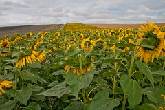 IMG_6400 (roguesgallery17) Tags: field sunflowers sunflower hertfordshire hitchin sunflowerfield hitchinlavender hitchinlavenderfarm