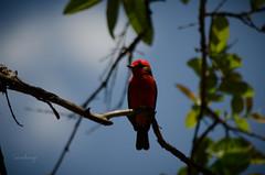 Pyrocephalus rubinus (ArangoLaura) Tags: red naturaleza bird primavera nature birds spring rojo birding aves colores ave birdwatching pájaro pajarito pyrocephalus rubinus ornitología pajareando