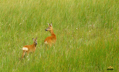 Roe Deer at Insh Marshes (sarniebill1 Heavy workload, catch up soon) Tags: birds fishing wildlife foxes roedeer reserves buzzards ospreys kingussie inshmarshes curlews greylaggeese lapwings redshanks riverspey specanimal flocksofwhooperswans thehighlandswetlands