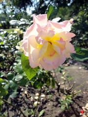 Roses - Hybrid tea rose 'Charlotte Brownell' - Rosaceae SC20120826 301 (fotoproze) Tags: roses canada rose quebec montreal rosen gl rosas rozen 2012 roser    rosor mawar jardinbotaniquedemontral rsir re re  montrealbotanicalgardens trandafiri arrosak ruusut hoahng       rue    rzsk queenrose vrtnice ris  rhosynnau