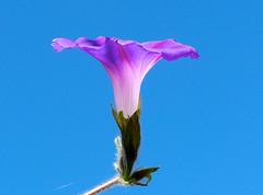 morning glory flower (nannyjean35) Tags: morning blue sky flower leaf stem glory cobweb