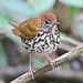 Wood Thrush at Tikal National Park. Hylocichla mustelina by Jerry Oldenettel (med).jpg