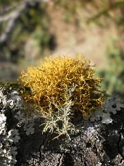 Lecanorales: Parmeliaceae (Tiago Madureira BIO) Tags: usnea lecanorales parmeliaceae olympust100