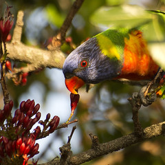 the nectar hunters (Explored) (Fat Burns) Tags: bird wildlife lorikeet parrot rainbowlorikeet australianwildlife bluey australianbird australianparrot bluemountainlorikeet