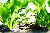 (Damien Cox) Tags: uk green leaves garden leaf nikon vegetable soil spinach damiencox dcoxphotographycom