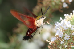 moth northcarolina richmondcounty hummingbirdclearwing