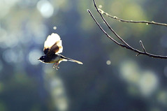 Grey Fantail : Chasing Spring Light  1 . . . (Clement Tang ** Busy **) Tags: nature silhouette inflight spring afternoon feeding bokeh wildlife backlit avian birdwatcher greyfantail closetonature concordians rhipiduraalbiscapafuliginosa candlebarkpark