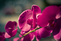 Abstract Flower (Pedro Lemoine) Tags: pink flowers abstract flores flower canon cores eos 50mm cross bokeh flor rosa pedro processing f18 18 abstrato corderosa lemoine delicado cruzado processamento rosachoque 60d
