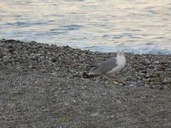 __________ (Ursino Santo) Tags: seagulls beach seagull gull motorboat spiaggia gabbiani gabbiano kittiwake ombrellone motoscafo fondachello beahumbrella mascali couplegulls
