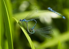 Visit Vogrie Country Park (RK Smith) Tags: nature damselflies vogriecountrypark