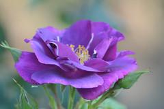 The fragrance of the rose (bbic) Tags: nature rose garden petals lila botanicalgarden bucharest bucuresti mov gradina bbic petale trandafir