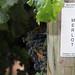 2012 Munselle Merlot Harvest 0006