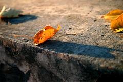 Fallen (OlyaOleum) Tags: autumn leaf moscow olympus epl3 olympusepl3