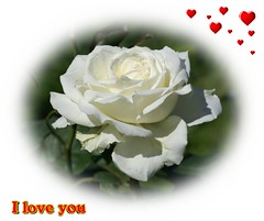 White love rose (georgi58) Tags: roses white love cards greeting ecards