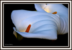 The light of the Lily (loobyloo55) Tags: white flower nature flora lily callalily floraandfauna flowerthequietbeauty