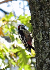 Middle Spotted Woodpecker (Dendrocopos medius), Bulgaria (LlZZlE) Tags: bird woodpecker bulgaria blackseacoast dendrocoposmedius middlespottedwoodpecker goritsa spatiawildlife